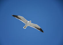Cape Gull In Flight Stock Photography
