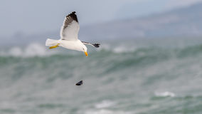 Cape Gull II Royalty Free Stock Photography