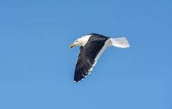 Free Cape Gull In Flight Stock Photos - 91493683
