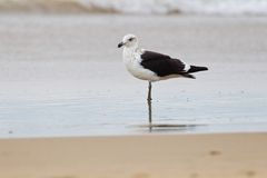 Cape gull (larus vetula) Stock Photo