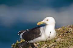 Cape gull (larus vetula) Stock Image