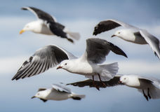 Cape Gulls in flight Royalty Free Stock Photos