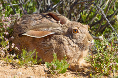 A cape hare resting in a warm and sunny spot in the Goegap Nature Reserve near Springbok in the Northern Cape, South Africa. Royalty Free Stock Photos
