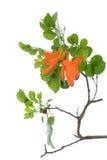 Cape honeysuckle's orange flower blooming(Tecomaria capensis) Stock Photos
