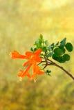 Cape honeysuckle's orange flower blooming(Tecomaria capensis) Stock Photo