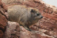 Cape hyrax Stock Photography