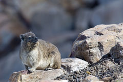 Cape Hyrax. Or Rock Hyrax, also called a Dassie in South Africa, sitting on a rock in the late afternoon sun Royalty Free Stock Photo
