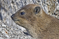 Cape hyrax close-up Royalty Free Stock Photo