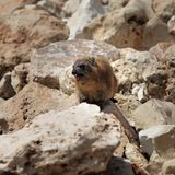 Cape hyrax (Procavia capensis) Royalty Free Stock Images