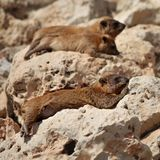 Cape hyrax (Procavia capensis) Royalty Free Stock Photos