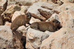Cape hyrax (Procavia capensis) Stock Image