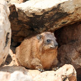 Cape hyrax (Procavia capensis) Stock Photography