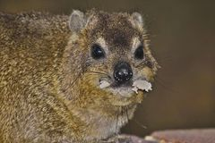 Cape hyrax (Procavia capensis) Stock Photo