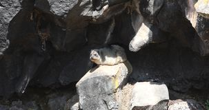 Cape Hyrax on Rock. Cape Hyrax, Procavia capensis, is sunbathing on rock at Bale mountains, Ethiopia stock video footage
