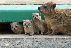 Cape Hyrax, or Rock Hyrax, (Procavia capensis). A family of Cape Hyrax, or Rock Hyrax, (Procavia capensis Royalty Free Stock Images