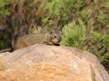 Cape Hyrax, or Rock Hyrax, (Procavia capensis). Also known as the Dassie, wild in the Waterberg region, South Africa Royalty Free Stock Images