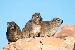Cape Hyrax sitting on a rock. Some Cape Hyrax basking in the sun, also known as dassie in Southern Africa Stock Photos