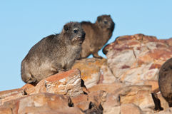 Cape Hyrax sitting on a rock Royalty Free Stock Image