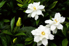 Cape jasmine flower Stock Image
