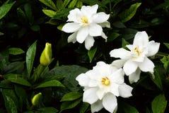 Cape jasmine flower stock image