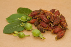 Cape Jasmine Fruit chinese herbal medicine Stock Photos