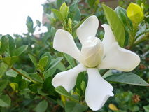 Cape Jasmine Stock Photo