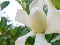 Cape Jasmine Royalty Free Stock Photography