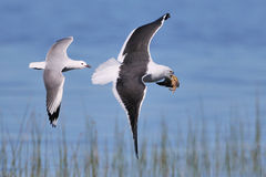 Cape Kelp Gull being chased by a Hartaubs gull. Cape Gull with a fish being chased by a Hartlaubs gull photographed in South Africa Stock Photo