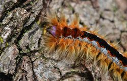 Cape Lappet moth caterpillar Stock Images