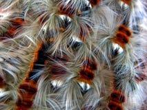 Cape Lappett Moth Caterpillars Stock Photo