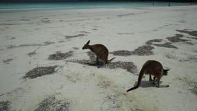 Lucky Bay Esperance. Cape Le Grand National Park, Western Australia - Jan 1, 2018: kangaroos on pristine white sand of Lucky Bay near Esperance. On background a stock video footage