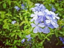 Free Cape Leadwort Stock Images - 89882574