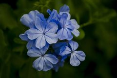 Cape leadwort in a beautiful purple to blue. stock images