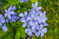 Cape leadwort flower (White plumbago; Plumbago) Stock Photo