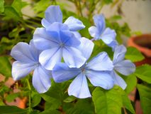 Cape leadwort flowers Plumbago on tree Stock Image