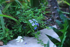 Cape leadwort Stock Photo