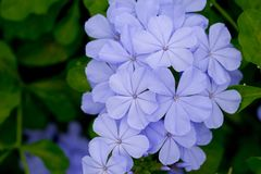 Free Cape Leadwort, Plumbago Auriculata Royalty Free Stock Photos - 123733528