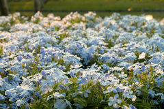Cape leadwort,Plumbago auriculata in the garden royalty free stock images