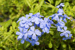 Cape leadwort (Plumbago auriculata Lam.). Royalty Free Stock Photo