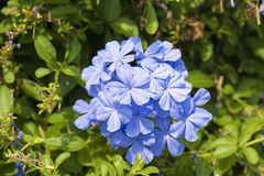 Cape leadwort (Plumbago auriculata Lam.). Royalty Free Stock Images