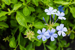 Cape leadwort, White plumbago Royalty Free Stock Images