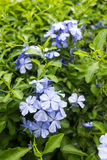 Cape leadwort ,White plumbago. Stock Image