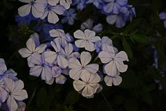 Cape leadwort, white plumbago;flowering plant. For garden decoration Royalty Free Stock Photo