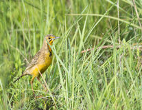Cape Longclaw amongst wet grass Royalty Free Stock Photo