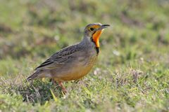 Cape Longclaw Bird Royalty Free Stock Images