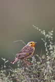 Cape longclaw (Macronyx capensis) Royalty Free Stock Photo