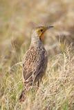 Cape Longclaw (Macronyx capensis) Royalty Free Stock Image