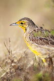 Cape Longclaw (Macronyx capensis) Stock Photos