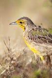 Cape Longclaw (Macronyx capensis) Stock Photos