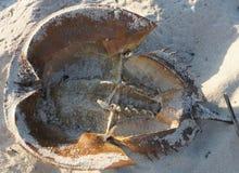 Cape May - punto di vista del limulo Fotografia Stock Libera da Diritti
